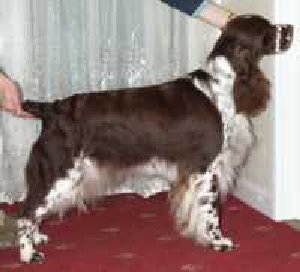 Calvdale Guilty as Charged Of Meadowdale placed at Championship Shows & RCC in 2000.  Sire: Sh Ch Wadeson Inspector Wexford Dam: Sh Ch Calvdale Curtsey to the Moon. Owner: Steve & Jane Eyeington Breeder: Mr & Mrs Calvert