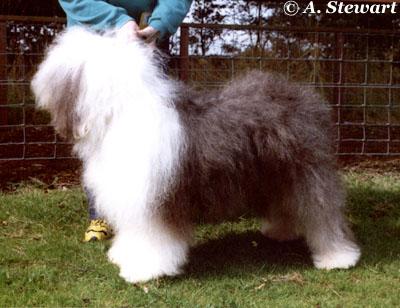 Old English Sheepdog Uk Dogs