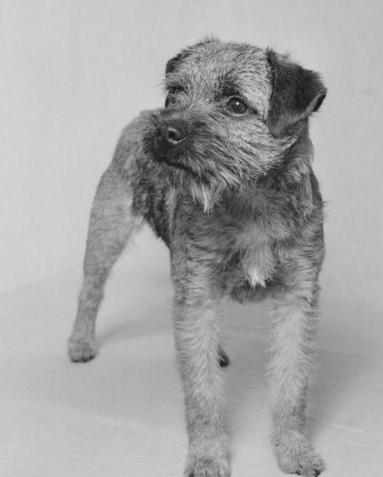 TODLAWS TATTIE BANNOCK   Sire:- Todlaws Mosstrooper   Dam:- Lottisland Sung Song Blue  Breeder:- Shirley Todd   Owner:- Shirley Todd   5 firsts and 3 best terrier puppys , one first was champ level .