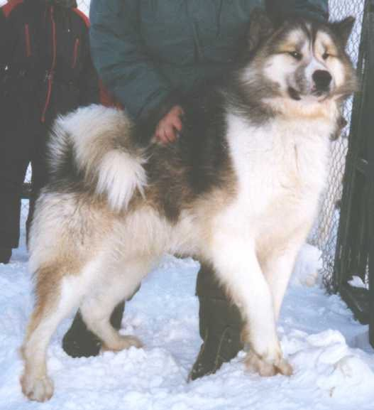 Great example of the breed